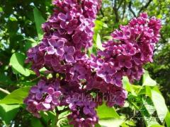 Vulg lilac. And. an L.Spath nursery Kiev region