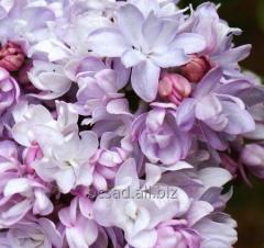 Vulg lilac. Montaigne in the GARDEN CENTER GREEN
