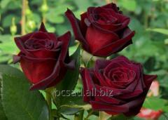 Розы Черенки саженцы