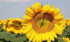 Sunflower seeds Yason (extra), 2015 of harves