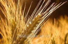 Seeds of barley