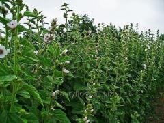 Grass alteya medicinal, Altya medicinal