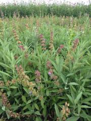 Grass of a sage medicinal,  Sage medicinal