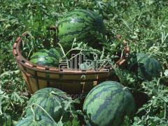 Water-melon