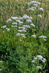 Root of a valerian medicinal, Valerian medicinal