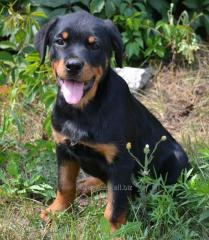 Club puppies of a Rottweiler from nursery