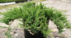 """Juniper """"Jade River"""". plant"""