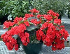 Begonia always blossoming (Begonia). Saplings of
