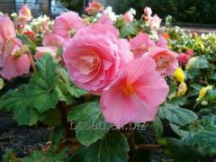 The begonia is klubnevy. Saplings of plants to