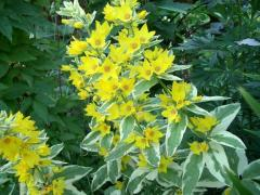 Loosestrife d16 h 40. Seeds of plants to plant