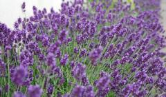 Lavender. Flowers, plants, seedlings, planted