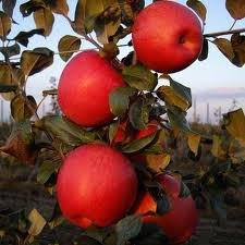 Яблоки сортов Хани Крисп