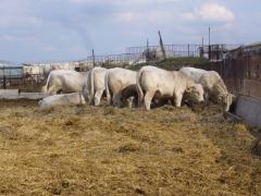 Cattle of breeding breed of Sharole