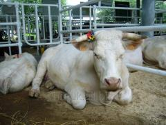 Calfs of breed of Sharole
