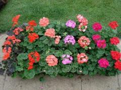 The geranium is zone. Saplings of plants to land