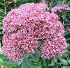 Seduma. Saplings of plants to land beautiful beds,