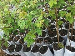 Raspberry saplings Kiev region, Bila Tserkva