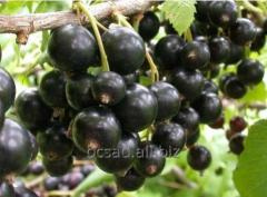Blackcurrant. Saplings, shanks Kiev region, Kiev,