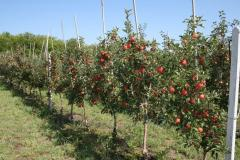 Apple-tree. Fruit-trees. Saplings of plants to
