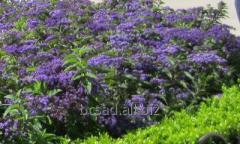 Ageratum is undersized. Perennials, saplings,