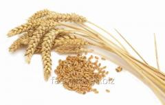 Seeds of winter wheat