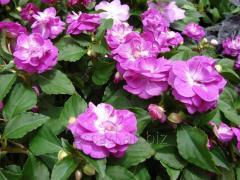 Balsam. Perennials, garden flowers, seedlings,