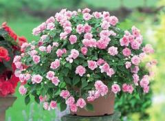 Balsam, long-term to a sadova flowers flowers Kiev