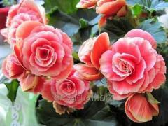 Бегония клубневая, садовые цветы, саженцы, черенки