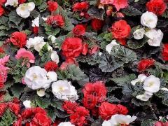 Begonia tuber plant nursery White Church