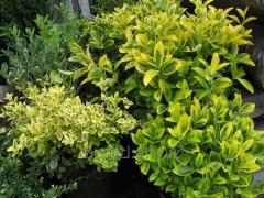 Euonymus d10 h15
