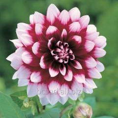 Dahlia. Saplings of flowers, plants Kiev region,