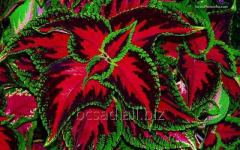 Колеус. Питомник растений Зеленое хозяйство
