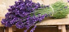 Lavender nursery of plants Bila Tserkva