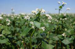 Buckwheat seeds Dikul 1 reproduction / nas_nnya