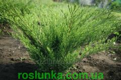 Ялівець козацький Тамариксофолія від виробника