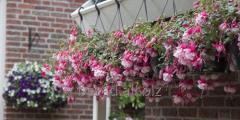 Fuchsia (Fuchsia). Bush