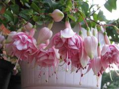 The fuchsia is ampelous. Flowers for the house and