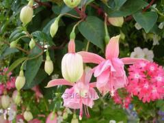 Fuchsia. Plant Nursery White Church