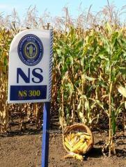 Кукуруза НС 300
