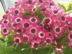 Tsinerariya — an effective decorative flower