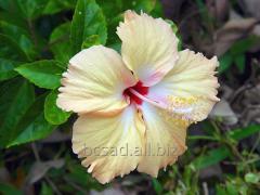 Garden hibiscus to land beautiful beds, gardens,