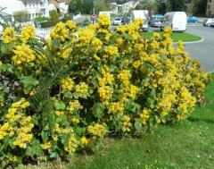Mahonia for the garden and the house, beautiful