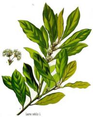 Oil of bay leaf natural nerafinirovany fat for