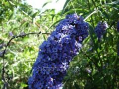 Buddley dav. Empire Blue, saplings of bushes in