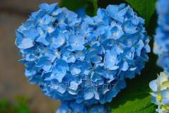 The hydrangea is garden. Landing and leaving