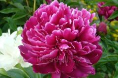 Peonies - beautiful flowers for your garden