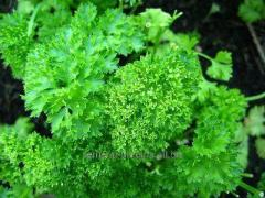 "Parsley seeds grade ""Curly"