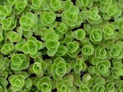 Sedum. Flowers and floriculture