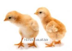 Grown chickens