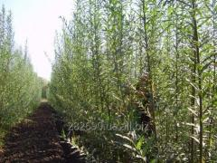 Willow saplings - a willow power